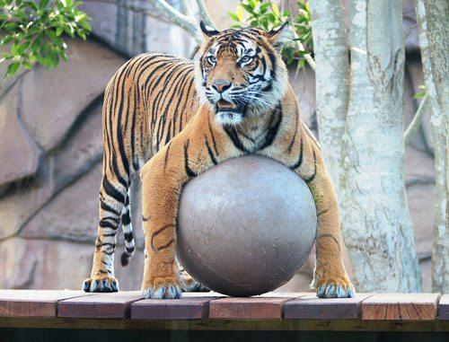 Tigre - Enriquecimento Ambiental