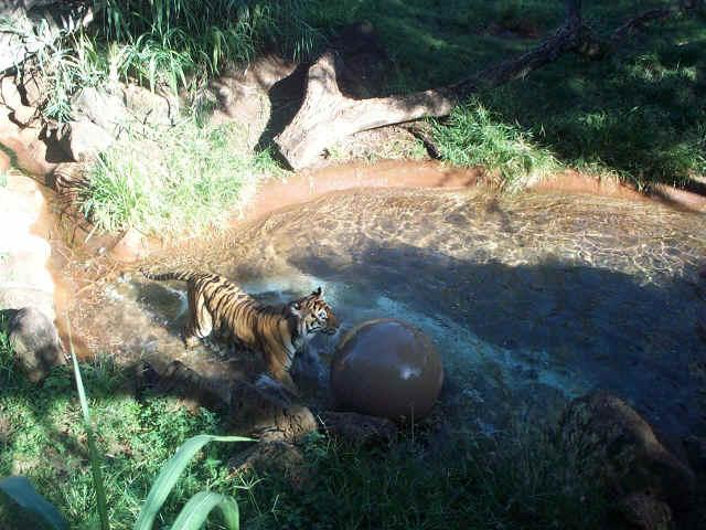Enriquecimento Ambiental com bolas para tigres