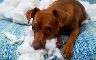 cão destruindo sofá